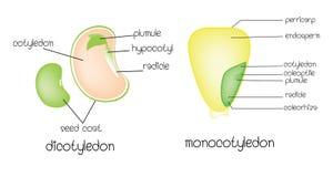 Dicotyledon vs monocotyledon. Cartoon vector vector illustration