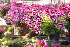 Hanging pot of Geranium butterfly in greenhouse Royalty Free Stock Image