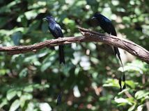 Dicrurus paradiseus/The greater racket-tailed drongo. Dicrurus paradiseus Stock Images