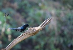 Dicrurus paradiseus/The greater racket-tailed drongo. Dicrurus paradiseus Stock Photography