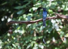 Dicrurus paradiseus/The greater racket-tailed drongo. Dicrurus paradiseus Stock Photo