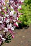 Dictamnus caucasicus 库存图片