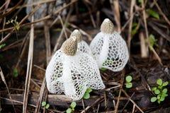 Dictyophora indusiata Arkivbild