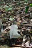 Dictyophora indusiata (Pers.) Fisch zdjęcie stock