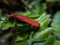 Dictyoptera SP Καθαρό φτερωτό ζωύφιο να ταΐσει περιπλάνησης με τα φύλλα στοκ εικόνα