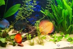 Discus fish in an aquarium. Discus fish swimming in a tropical freshwater aquarium Stock Photography