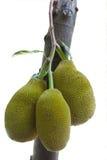 Dicut do Jackfruit Foto de Stock Royalty Free