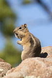Did I do that. A golden mantled squirrel with mouth full of nuts Stock Photography