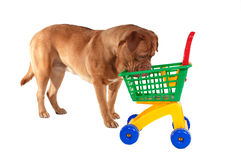 Did I forgot to buy something?!. Puppy inspecting a shopping cart Stock Photography