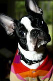 Did I Hear Right?. Boston Terrier cocks his head sideways as if to question what he heard.  He has on a polo shirt of red, orange, pink and tan stripes Stock Images