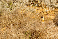 They did not see me - Meerkat - Suricata suricatta Royalty Free Stock Images