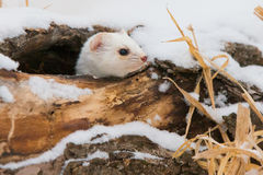 Did someone ring the door bell. Short tailed weasel up close Royalty Free Stock Photos