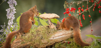 Did you find it. Close up of red squirrels standing with mushroom, berries and flowers Stock Photography