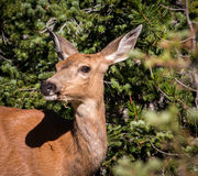 Did You Hear That. Wild deer at Mt. Rainier National Park Seattle Washington Stock Images