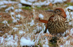 Did you see that?. Brown Thrasher on the snow covered ground turned to the right posing a question Stock Image