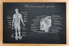 Didactic board of anatomy of human. Bony and muscular system stock illustration