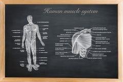 Didaktiskt bräde av anatomi av människan Arkivbild
