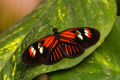 Dido longwing butterfly. Tropical butterflies scarce bamboo page on the leaf. Macro photography of wildlife Stock Photos