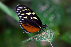 Dido longwing Royalty Free Stock Photos