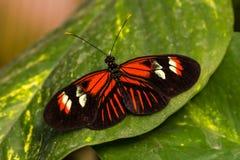 Dido longwing motyl zdjęcia stock