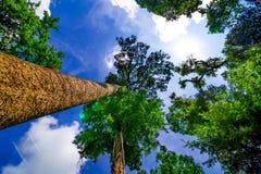 Die Überdachung von den hohen Bäumen, die einen klaren blauen Himmel gestalten Stockfoto
