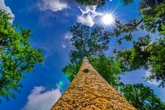 Die Überdachung von den hohen Bäumen, die einen klaren blauen Himmel gestalten Lizenzfreie Stockfotografie
