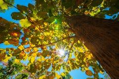 Die Überdachung von den hohen Bäumen, die einen klaren blauen Himmel gestalten Lizenzfreie Stockbilder