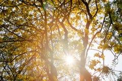 Die Überdachung von den hohen Bäumen, die einen klaren blauen Himmel gestalten Stockbild