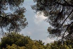 Die Überdachung von den Kiefern, die einen blauen Himmel gestalten lizenzfreie stockfotografie