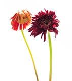Die. Flower look so not happy royalty free stock photo