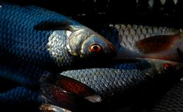Die abgefangenen Fische. Stockfotos