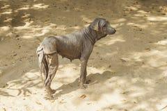 Die abstoßenden Hunde und das unbehaart, Thailand Lizenzfreies Stockbild