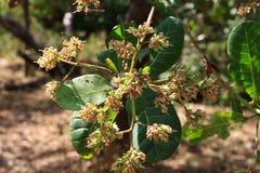 Die Acajoubaumblumen Lizenzfreie Stockbilder
