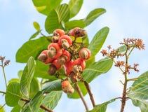 Die Acajounüsse, die auf einem Baum diese außerordentliche Nuss wachsen, wächst outsi Lizenzfreie Stockfotos