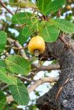 Die Acajounüsse, die auf einem Baum diese außerordentliche Nuss wachsen, wächst outsi Stockbild