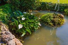 die acquatic weiße Callalilie bekannt als Zantedeschia aethiopica Stockfoto