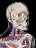 Die Adern und die Arterien des Kopfes Stockbild
