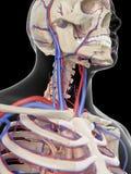 Die Adern und die Arterien des Kopfes Stockfotos