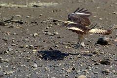 Die Adlerlandung Stockfoto