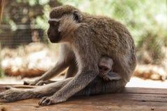 Die Affe-Mutter Stockfoto