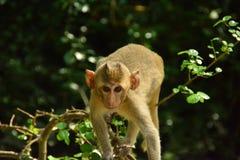 Die Affe ` s Augen schauen oben und bereiten vor, um zu springen Stockfoto