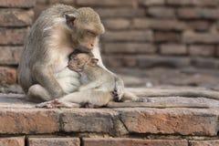 Die Affefamilie leben in der alten Stadt Stockfotos
