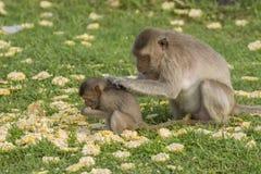 Die Affefamilie leben in der alten Stadt Stockfoto