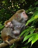Die Affemutter und -baby Lizenzfreies Stockfoto