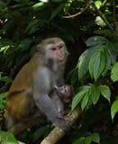 Die Affemutter und -baby Lizenzfreie Stockfotos