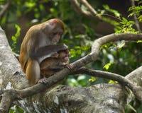 Die Affemutter und -sohn Stockfotos