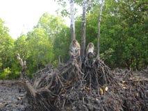 Die Affen, die auf Baum sitzen, wurzeln im Mangrovenwald in Koh Lanta, Thailand Stockfotografie