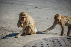 Die Affen auf den Straßen essen Lebensmittel Stockbild