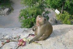 Die Affen leben im Tempel Stockfoto