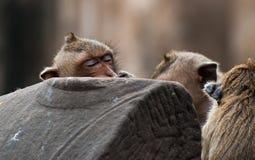 Die Affen spielen und leben im Ruinentempel Stockfotografie